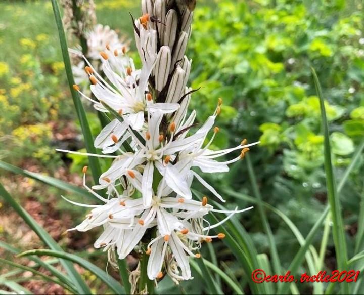 Asphodelus ramosus_fiore