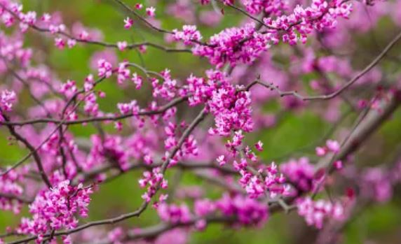 albero di giuda_fiori